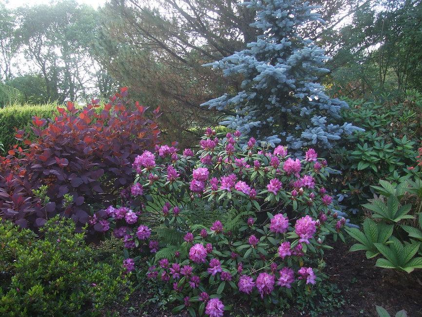 Cotinus Grace, Rhododendron Marcel Menard, Abies procera