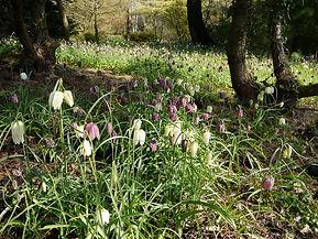 naturalised Fritillaria meleagris