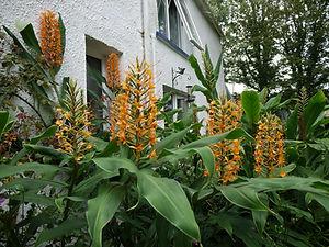 Hedychium Tara. ginger lily. zingiberaceae