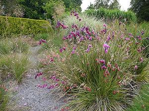 Dierama pulcherrimum, Angel's fishing rods