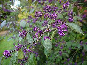 Callicarpa bodinieri var giraldii Profusion. beauty berry. purple berries