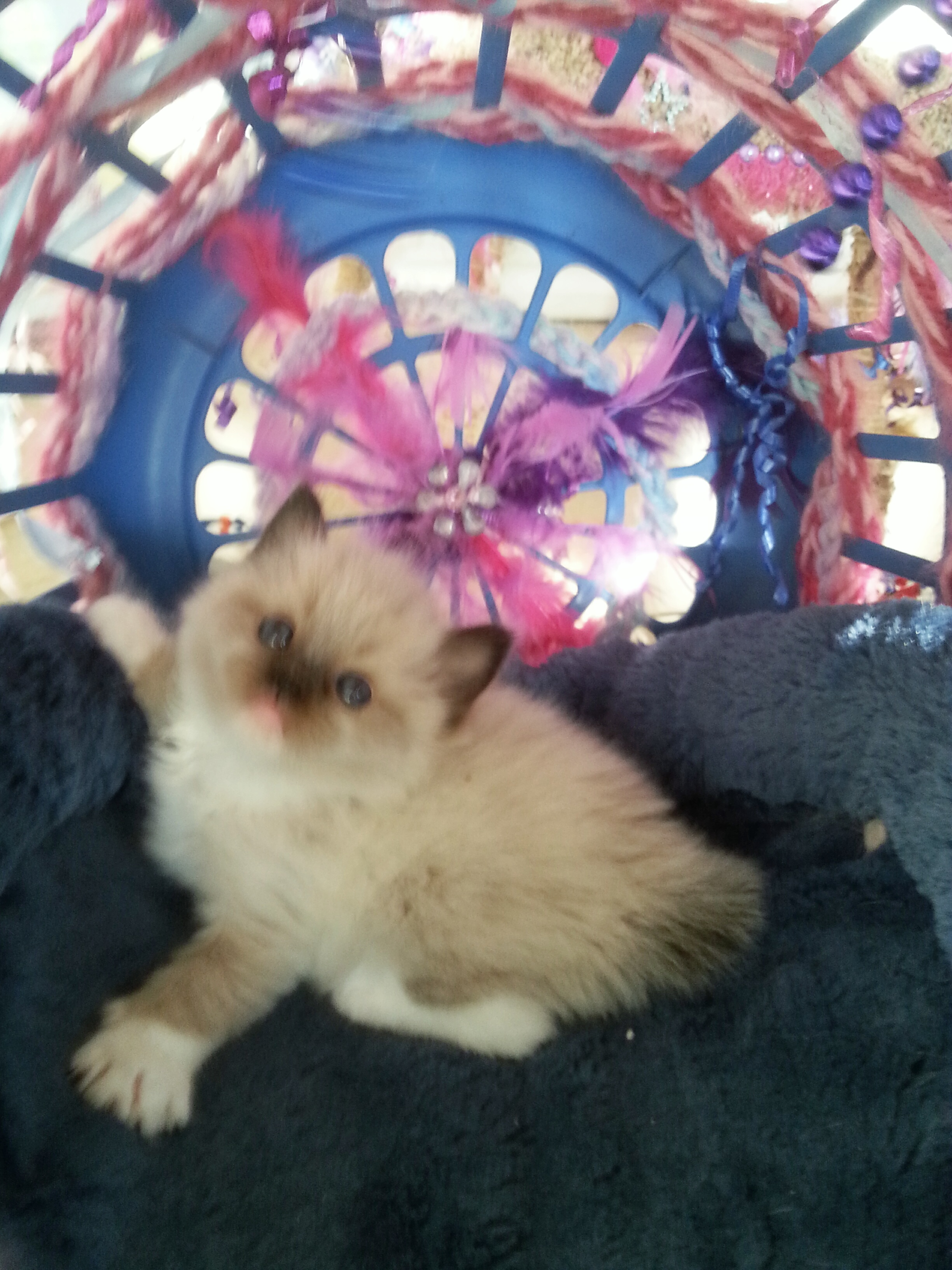 05-12-15 Kittens Shenandoah - Brodie