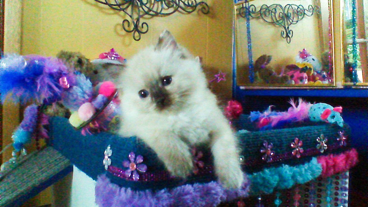 9-11-14 Kittens Shenandoah - Brendon