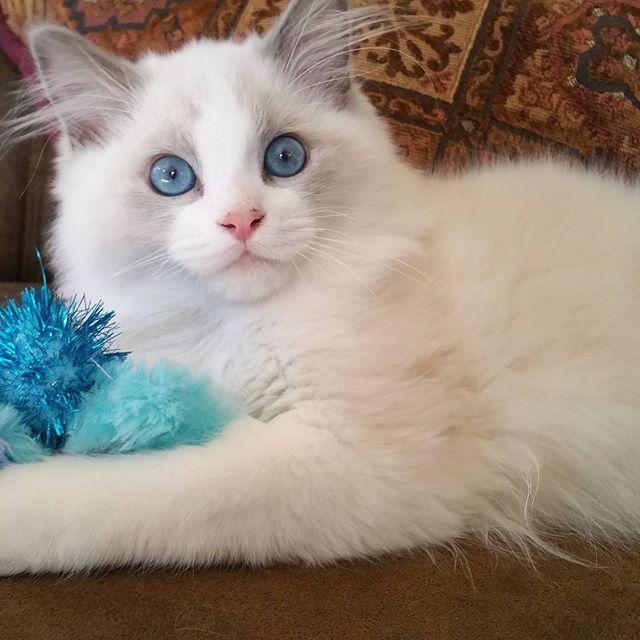 Tristan is 4 months old now! He is such a beautiful sweet boy!! #ragdollcat #kittycat #catsofinstagr
