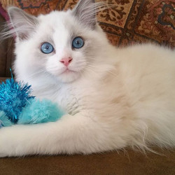 Tristan is 4 months old now! He is such a beautiful sweet boy!! #ragdollcat #kittycat #catsofinstagr