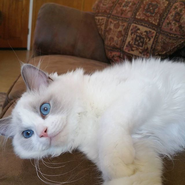 Tristan cuddly on the couch! #ragdollcat #kittycat #catsofinstagram #hellokitty #catsoftheworld #cut