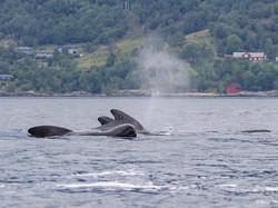 gömbfejű delfinek