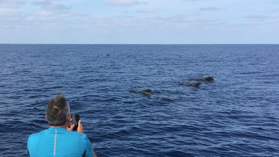 Gömbölyű fejű delfinek