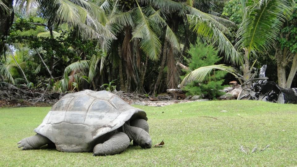 Couriose, óriás teknős