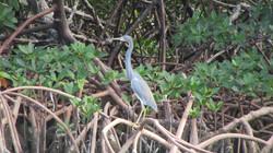 Manjack Cay, mangrove