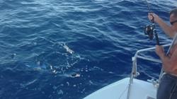 Atlanti, blue marlin