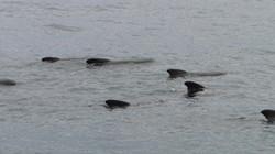 Gömbölyűfejű delfinek