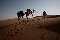 14. Mahrouqi leading his camels into the