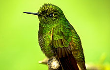 Hummingbird,-Cloud-Forest-Safari-Ecuador