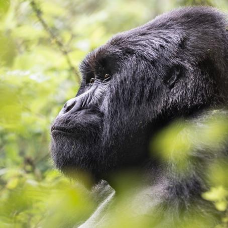 Gorilla Trekking in Rwanda with World-Leading Conservationist Praveen Moman