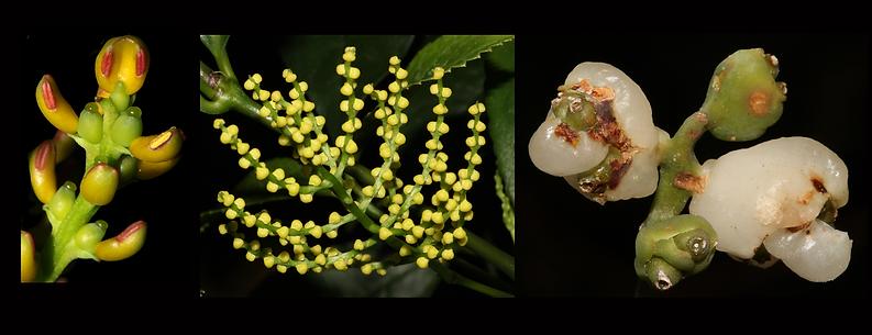 Chloranthaceae pagina web.tif