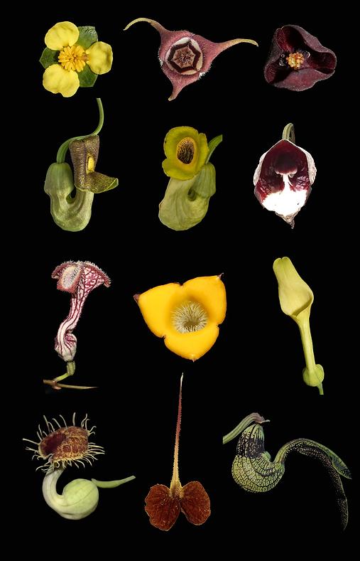 aristolochiaceae.png