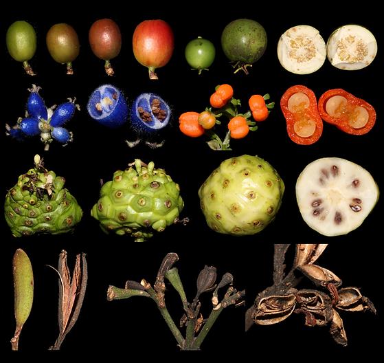 Todos rubiaceae.tif