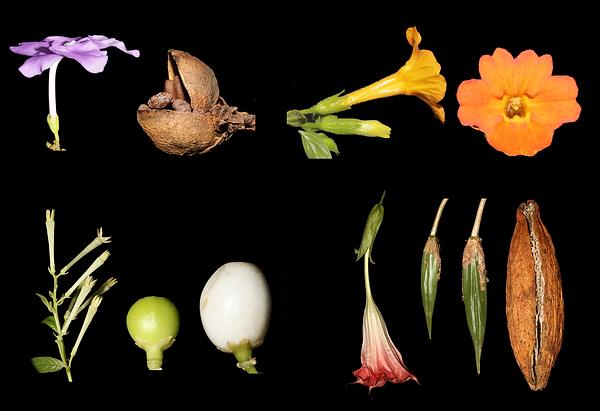 Solanaceae pagina web.tif