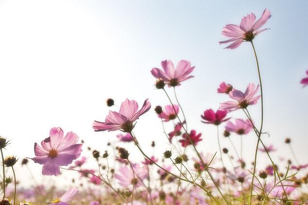 pink-flower-field-158756.jpg