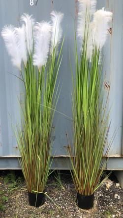 plante plumeaux