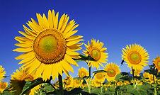 iStock_000003101006Medium_sunflower.jpg