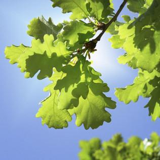 oak-tree.jpeg