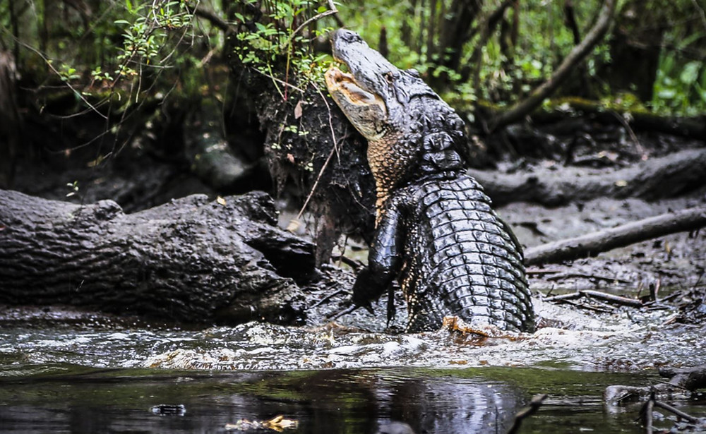 see alligator on paddle boarding tour