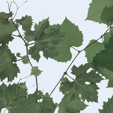 Grape Leaves cropped- lighter blue.jpg