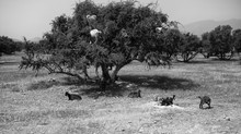 THE ARGAN OIL STORY