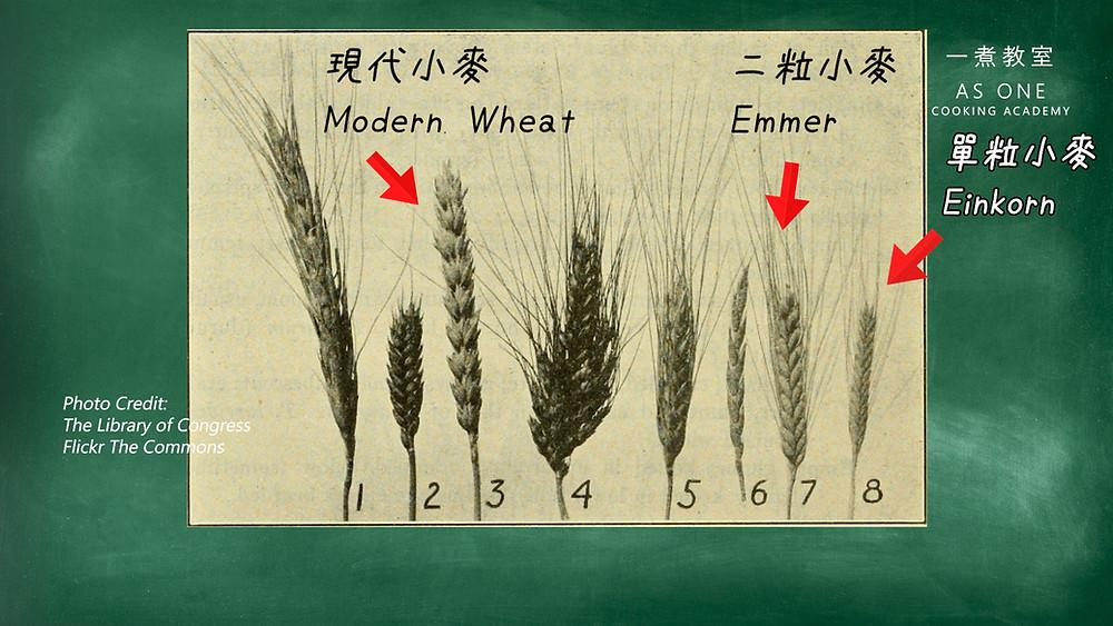 einkorn, emmer wheat, modern wheat