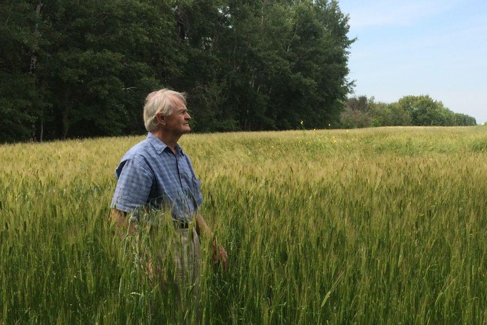 einkorn wheat field