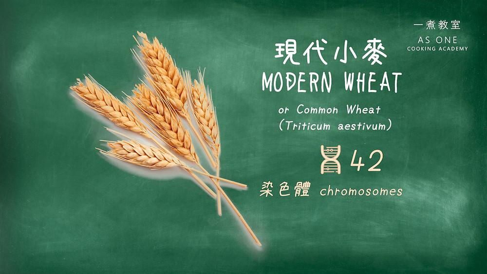modern wheat