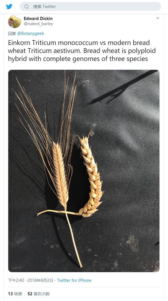 原始小麥與現代小麥對比