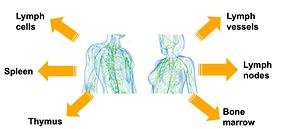 Lymph diagram.png