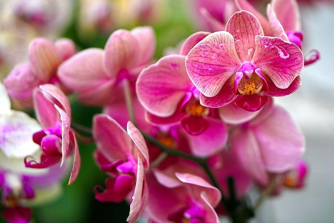 orchids-4468051_1280.jpg