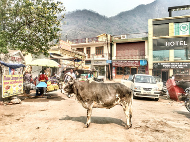 Ayurveda + yoga + cows in India