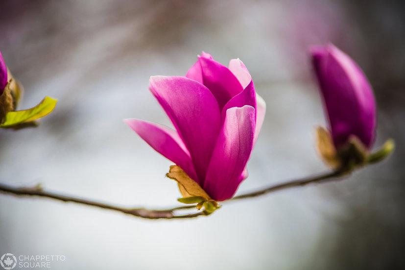 Springtime Blossom in Central Park