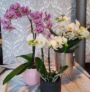 Orchidee ab 18,50€.jpg