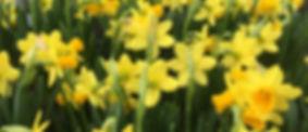 Daffodil%20Teteatete%20full%20bloom_edit