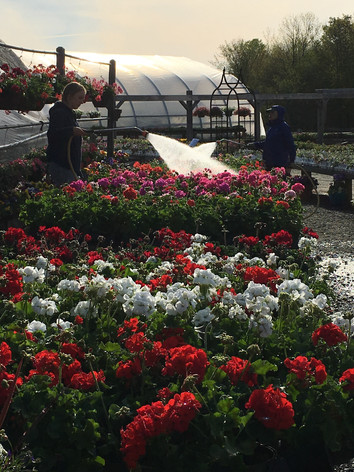 watering geraniums at stand.jpg