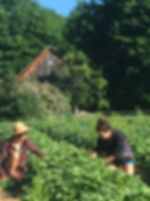 Claire and Whitney picking strawberries.