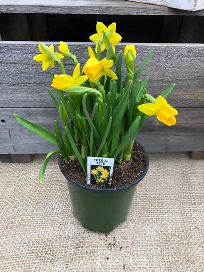 "Tete a Tete 4"" pots- Forcing bulbs"