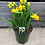 "Thumbnail: Tete a Tete 4"" pots- Forcing bulbs"