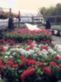 watering geraniums at stand lighter.jpg