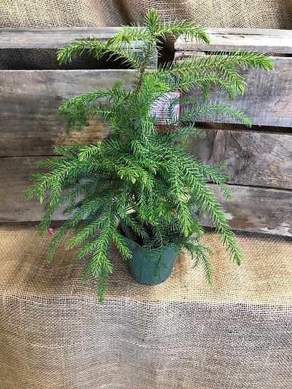 """Norfolk pine 4"""""""