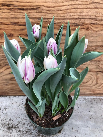 """6"""" Forced Tulip"""