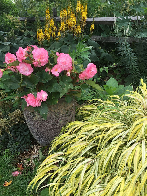 Front garden begonia in coral pot shade