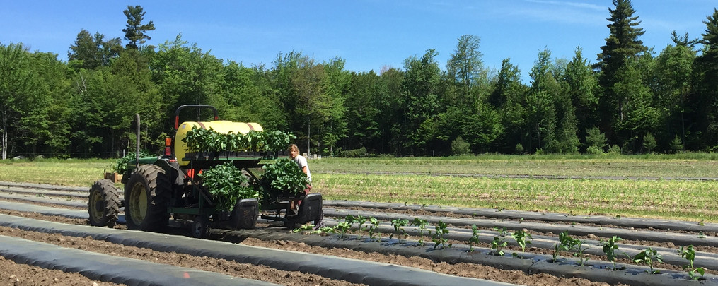 Pepper planting with water wheel June 20