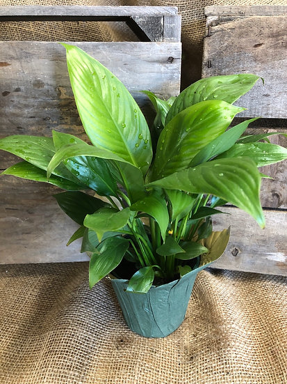 """Peace Lily 4"""""""